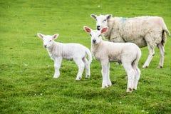 Corderos dulces que moran en el campo escocés hermoso verde Fotos de archivo libres de regalías