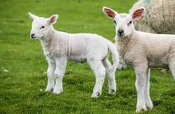 Corderos dulces que moran en el campo escocés hermoso verde Fotos de archivo