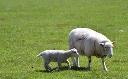 Corderos en campo fuera de Corfe Fotografía de archivo libre de regalías