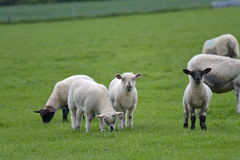 Corderos en el campo, Abbotsbury Imágenes de archivo libres de regalías