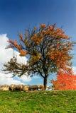 Corderos en el otoño en las montañas Fotografía de archivo libre de regalías