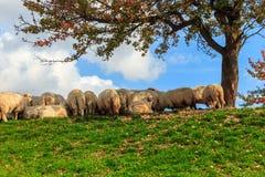 Corderos en el otoño en las montañas Fotos de archivo libres de regalías