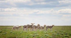 Corderos en el pasto Imagen de archivo libre de regalías