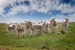 Corderos en el pasto Fotografía de archivo libre de regalías