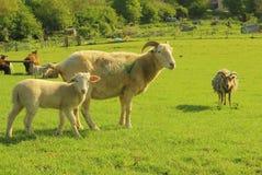 Corderos en el prado Foto de archivo