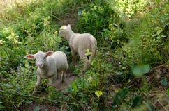 Corderos en los arroces de arroz Mae Hong Son Tailandia Imagen de archivo