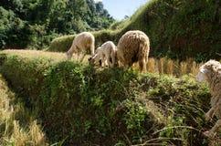 Corderos en los arroces de arroz Mae Hong Son Tailandia Foto de archivo libre de regalías