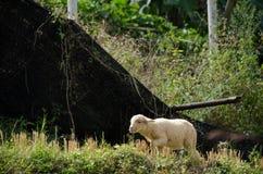 Corderos en los arroces de arroz Mae Hong Son Tailandia Fotografía de archivo