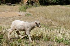 Corderos en los arroces de arroz Mae Hong Son Tailandia Imagenes de archivo
