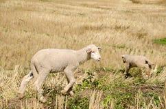 Corderos en los arroces de arroz Mae Hong Son Tailandia Fotos de archivo