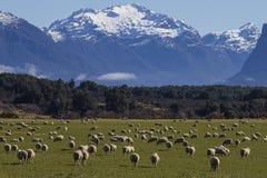 Corderos en Nueva Zelanda Imagenes de archivo