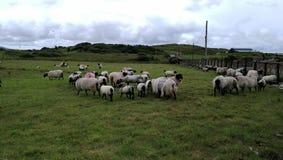Corderos en un prado irlandés Imagen de archivo libre de regalías