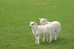 Corderos gemelos imagen de archivo libre de regalías