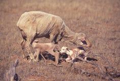 Corderos gemelos con la oveja Imagen de archivo libre de regalías