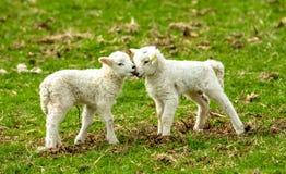 Corderos, corderos gemelos en la primavera nuzzling junto fotografía de archivo libre de regalías