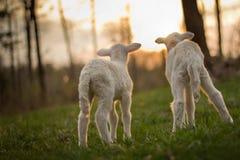 Corderos gemelos en pasto Imagenes de archivo