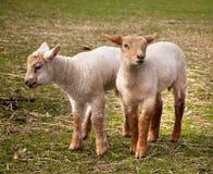Corderos gemelos en resorte Fotografía de archivo