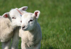 Corderos jovenes lindos del bebé en campo Fotografía de archivo