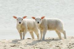 Corderos lindos en la playa en resorte Fotografía de archivo