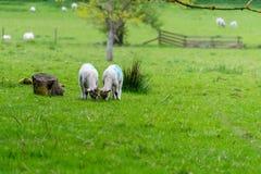 Corderos lindos que comen la hierba al lado de tocón de árbol en primavera Fotografía de archivo