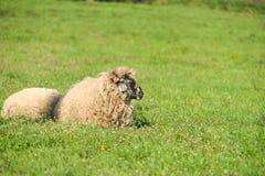 Corderos lindos que duermen abajo en el prado después de una buena comida Imagen de archivo libre de regalías