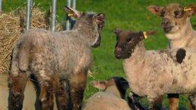 Corderos que comen la tarde de Hay At Feeder In The almacen de metraje de vídeo