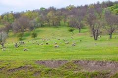 Corderos que pastan en el prado Imágenes de archivo libres de regalías