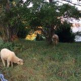 Corderos que pastan en un pasto Foto de archivo