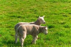 2 corderos que se colocan en prado de la hierba en primavera Fotos de archivo