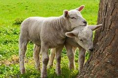2 corderos que se colocan en prado de la hierba en primavera Fotos de archivo libres de regalías