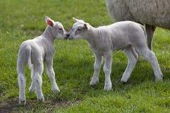Corderos recién nacidos en el prado Foto de archivo libre de regalías