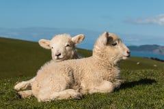Corderos recién nacidos que toman el sol en hierba Foto de archivo libre de regalías