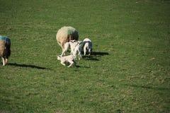 Corderos y ovejas en un maedow de la hierba fotos de archivo