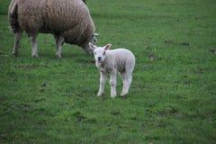 Corderos y ovejas en un maedow de la hierba imagen de archivo
