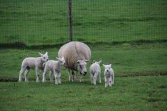 Corderos y ovejas en un maedow de la hierba imagenes de archivo