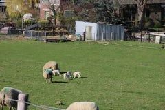 Corderos y ovejas en un maedow de la hierba foto de archivo libre de regalías