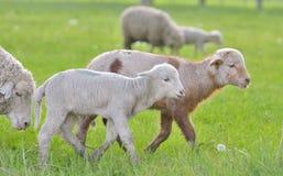 Corderos y ovejas jovenes en tiempo de primavera Fotografía de archivo libre de regalías
