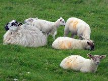 Corderos y ovejas que pastan en un campo Imágenes de archivo libres de regalías
