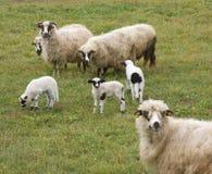 Corderos y sheeps Foto de archivo