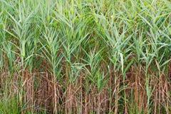 cordgrass saltmarsh zdjęcie stock