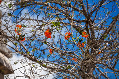 Cordia Dodecandra tree with red flowers in Mexico Royalty Free Stock Photos