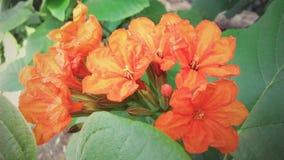 Cordia flowers Stock Image