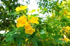 Cordia lutea kwiat na zamazanym gałąź i liści tle Fotografia Royalty Free