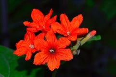 Cordia sebestena also known as Scarlet cordia. Pune Stock Photo