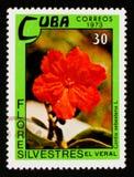 Cordia sebestena, Dzikich kwiatów seria około 1973, Obraz Stock