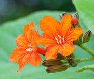 Cordia sebestena flowers Royalty Free Stock Image