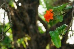Cordia sebestena flowers Stock Photo