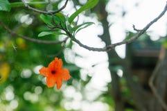 Cordia sebestena flowers with  cobweb Stock Image