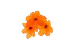 Cordia sebestena flowers Isolate on white background Royalty Free Stock Photography