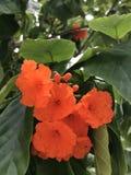 Cordiasebestena eller Boraginaceaeblommor Royaltyfri Bild